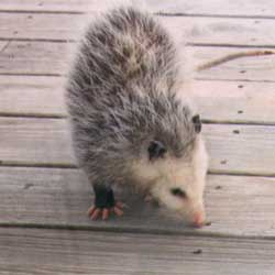 Three opossums are definitely a crowd.